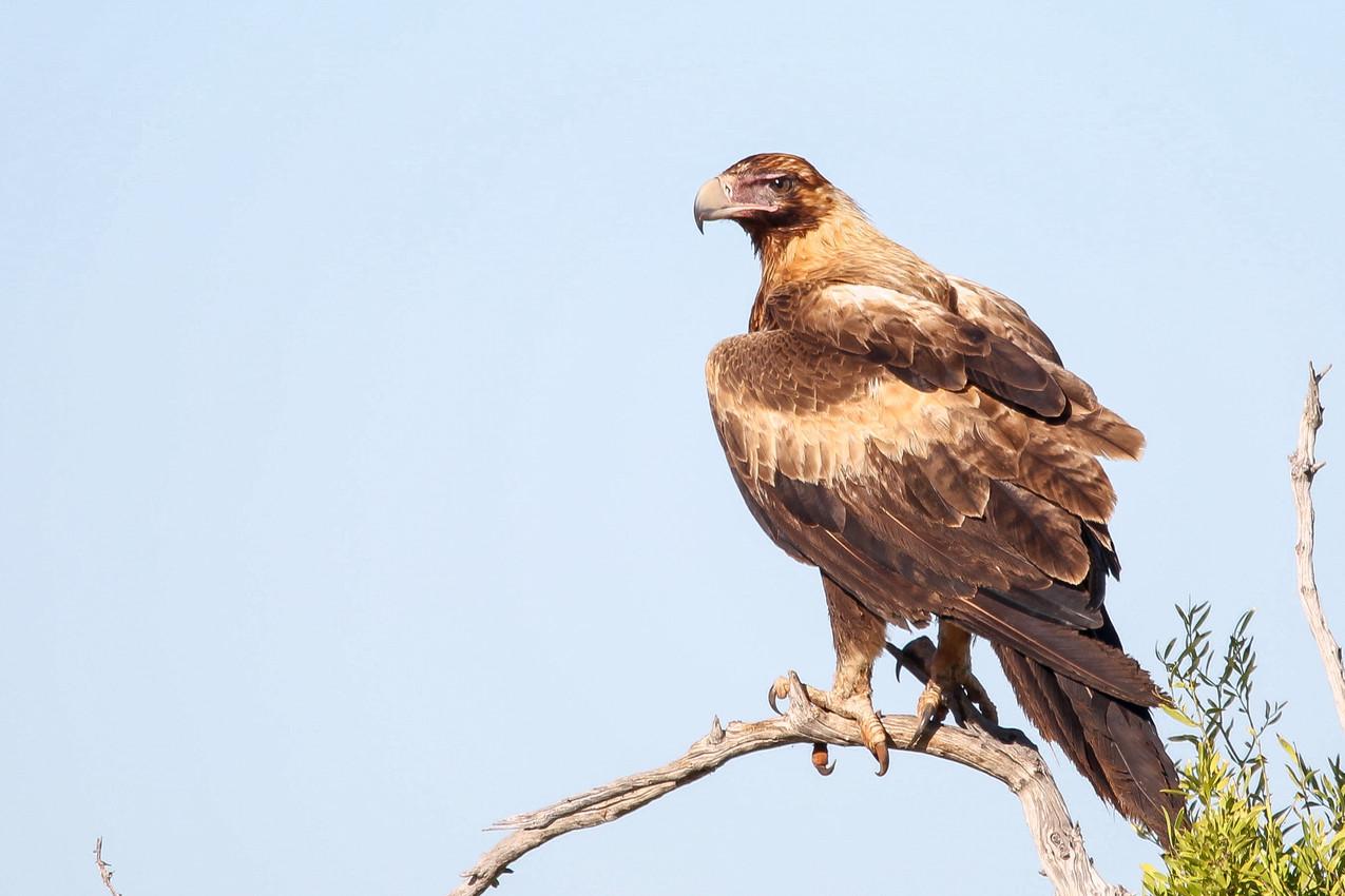 Eagle, Tablelands Hwy - NT