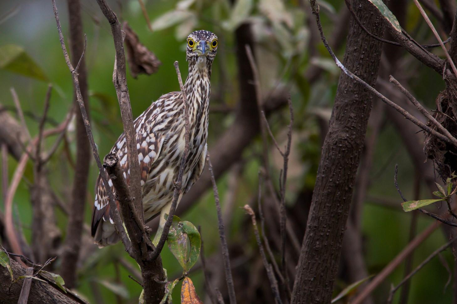 Juvenile Night Heron, Corrobee Billabong - NT