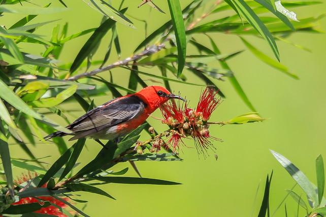Scarlet Myzomela, Kenilworth - QLD