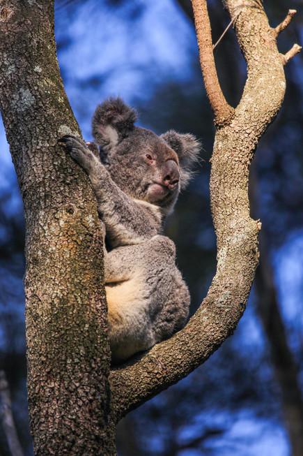 Koala at Noosa National Park - QLD