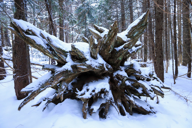 Tree Root - Crystal Mountain - Mt Rainier, Washington State - USA