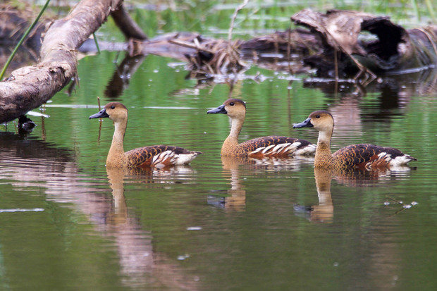Wandering Whistling Ducks - NT