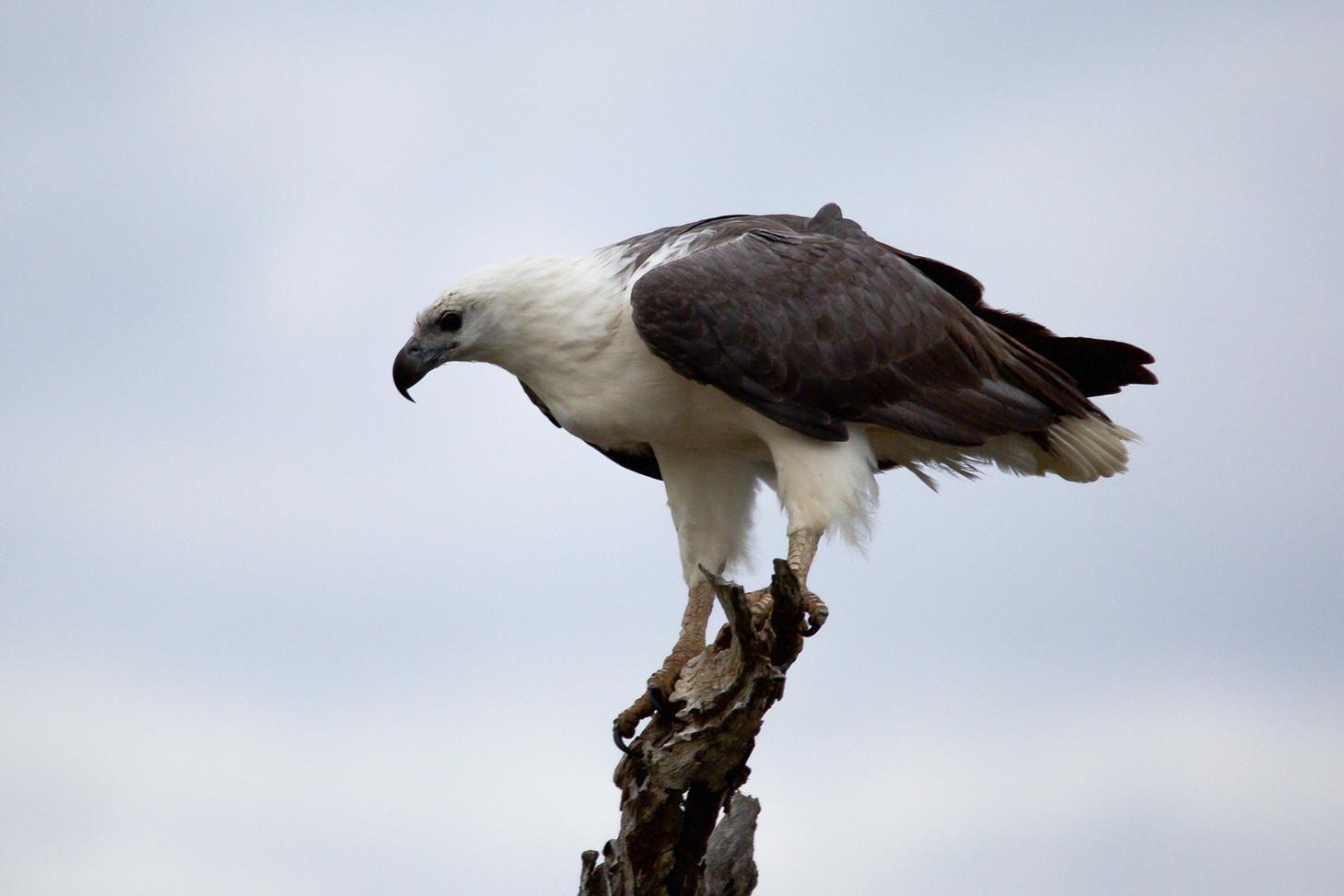 Sea Eagle, Corroboree Billabong - NT