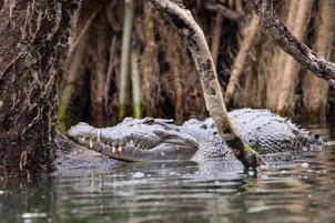 Saltwater Crocodile, Darwin - NT