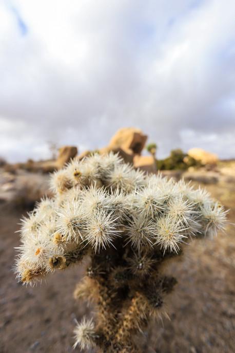 Cactus - Joshua Tree NP, California - USA