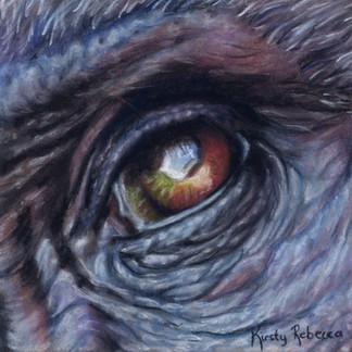 Gorilla Eye Study