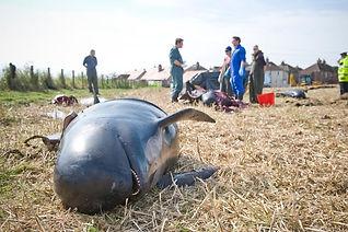 Mammals harmed by sea munition disposal.
