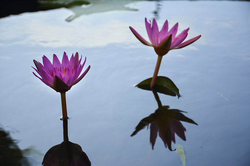 Muan White Lotus Fesival Jeollanam