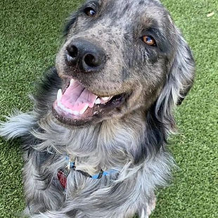 A handsome gray dog looking at the camera.  Corinne's dog Sirius