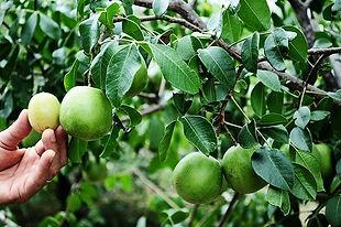 10-sementes-de-umbu-gigante-fruta-do-umb