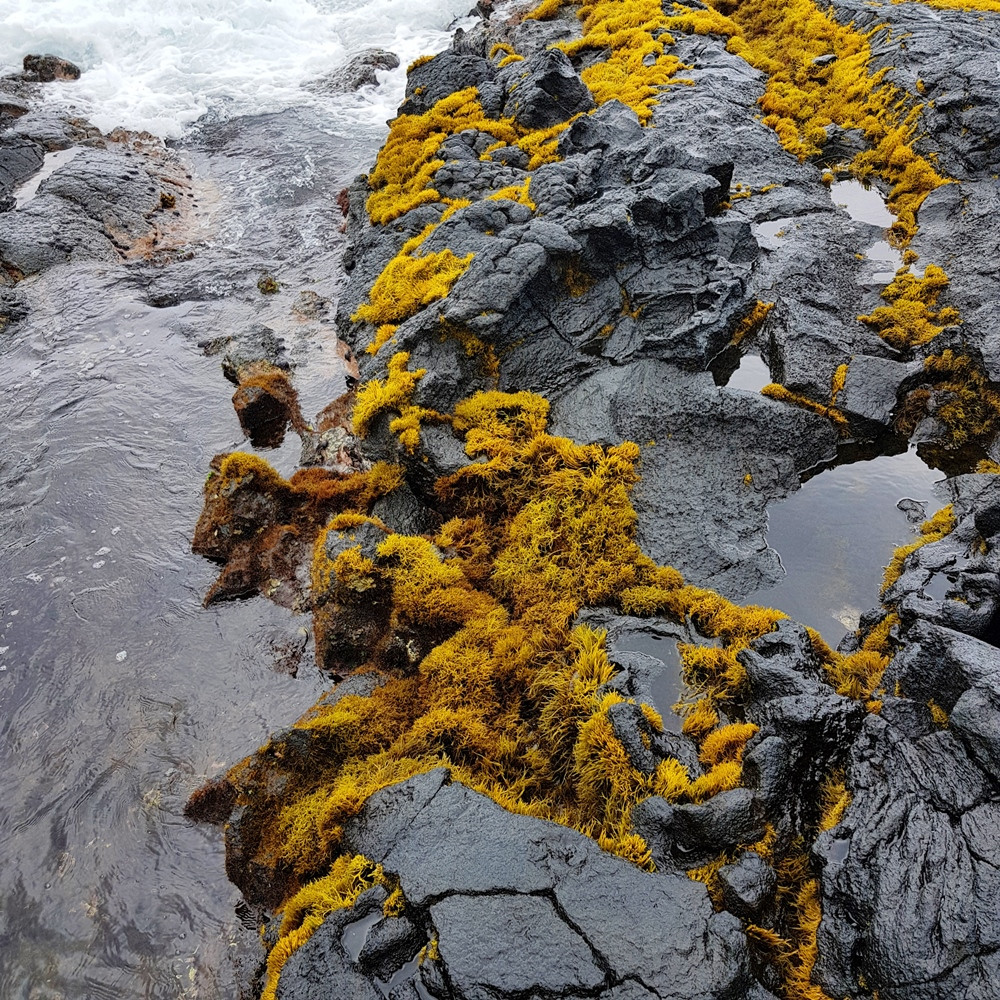 הסלעים השחורים מתקשטים בתכשיטי אצות  זהובים