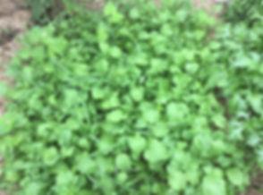 green Manure.jpg