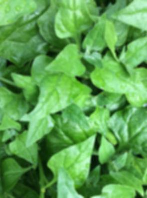 warragul spinach.jpeg