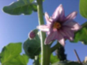 Eggplant Flower 2.jpg