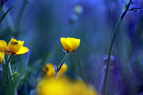 Yorkshire Buttercup 2
