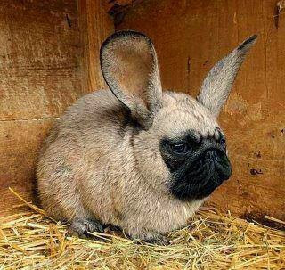 Image: weird mutant bunny/pug