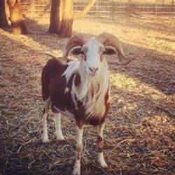 Current Breeding Ram Redcloud