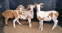 Up and Coming Breeding Rams
