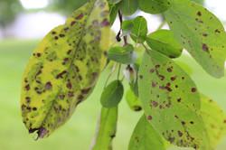 tree disease.jpg