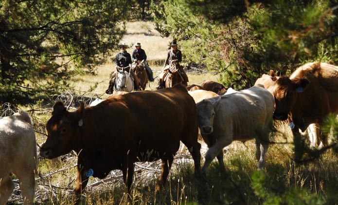 Convoyage de bétail, stage en ranch Montana