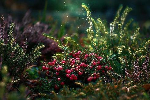 cranberries-5752417__340.jpg