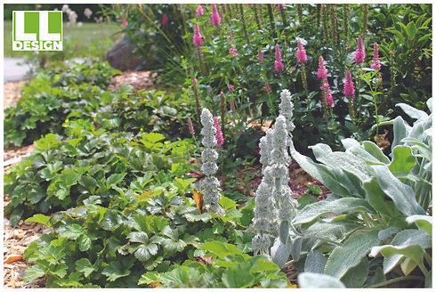 Lambs Ear and Pink Potion Veronica.jpg