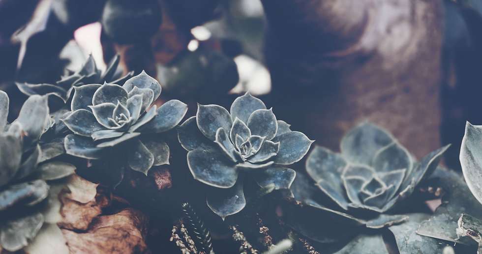 Buy Succulents