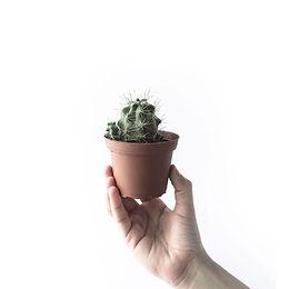 Buy Cactus
