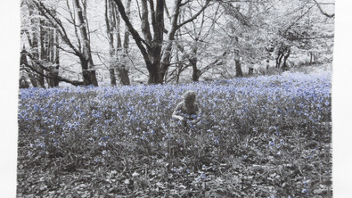 In the Breeze of the Bluebell Wood