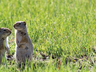 4 Fun Facts About the Uinta Ground Squirrel