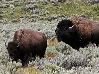 Watch for Wildlife: 2018 Wildlife Attacks at Yellowstone