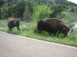Theodore Roosevelt National Park - Bison