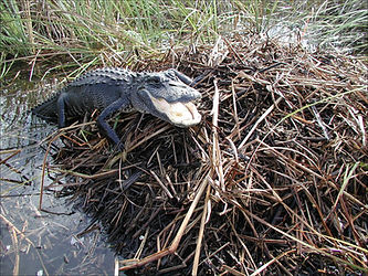 Alligator and Nest.jpg