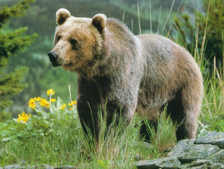 5 Cool Facts About Yellowstone's Grizzly Bears