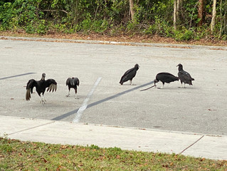 Everglades National Park: Do Vultures Really Eat Cars in the Everglades?