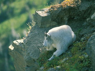 Excerpt From 101 Travel Bits: Glacier National Park - Mountain Goats