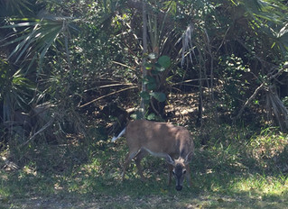 3 Fun Facts on Key Deer for Key Deer Awareness Day
