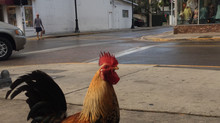 4 Facts About the Key West Chickens