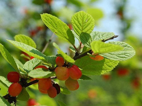 Ragouminier (Prunus tomentosa)