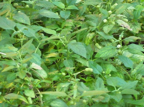 Lippia dulcis plante sucrée des Aztèques