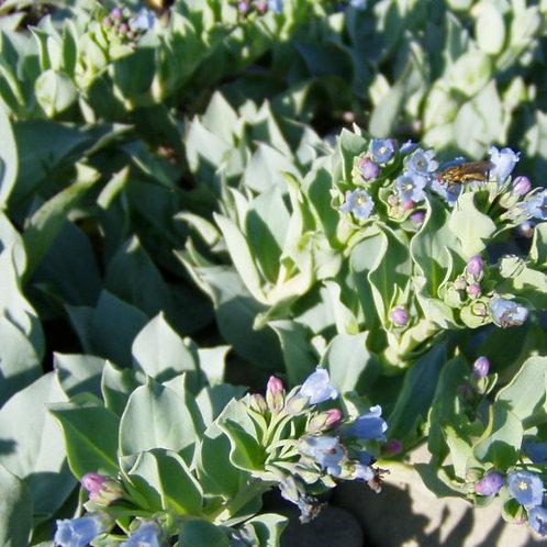 Mertensia maritima (plante à huitre)