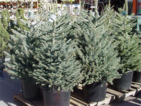 Norway-Spruce-Container1.jpg