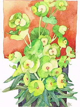 Euphorbia Wuffenii