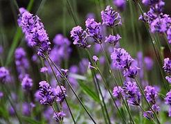 Lavender_01.jpg