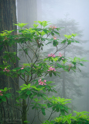 Fog-Kissed RHododendrons