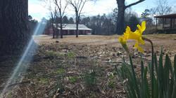 Spring Daffodil with Barn