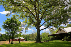 100 Year Old Oak Tree with EventBarn