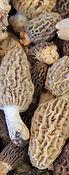 champignon-morilles (1).jpg