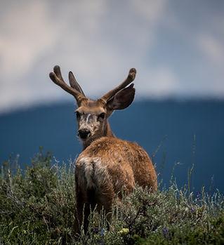 鹿は振り返る