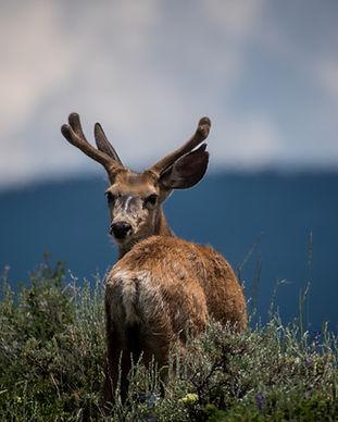 Deer Looking Back